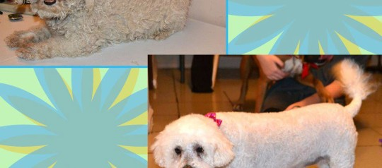 "VIDEO The Matted Bichon ""Shave Down"" Phoenix Grooming"