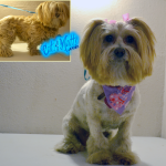 Lhasa Apso Lion Cut
