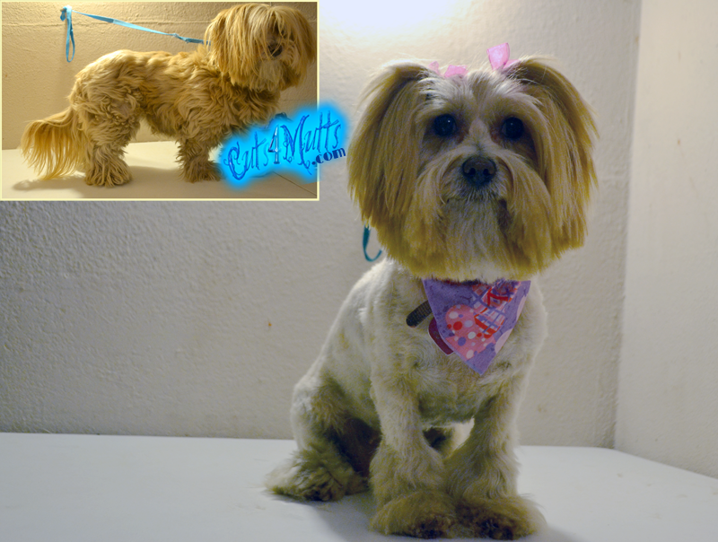 Related Pictures lhasa apso haircuts dog breeds index
