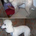 Washing a dog: Bathing White Dogs